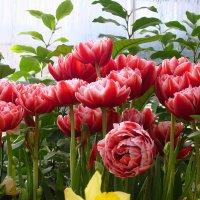 Махровые тюльпаны :: Ольга (ОК)