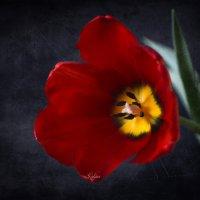 Красный тюльпан :: Галина Galyazlatotsvet