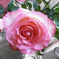 Розы, розы, розы... :: татьяна