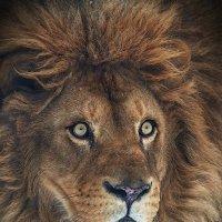 Царь зверей. :: Виктор Шпаков