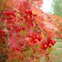 Калиновые краски осени :: Стас Борискин