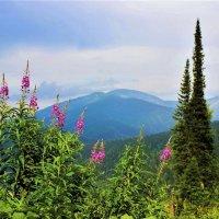 Цветёт в горах иван-чай :: Сергей Чиняев