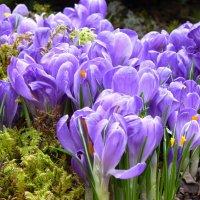 крокусы....цветы весенние нужны нам, забывшим разноцветье лета! :: Galina Leskova