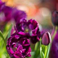 Тюльпаны :: Ксения Базарова