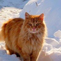 рыжий на снегу :: Александр Прокудин