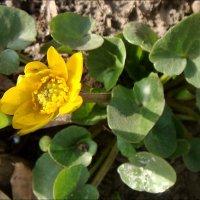 Самый первый цветочек этой весны :: Нина Корешкова