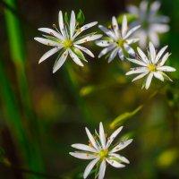 Белые цветочки :: Ильдар Шангараев