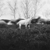 Коза :: Евгения Фролова