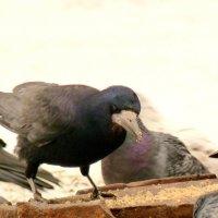 черная - наглость побеждает среди голубей... :: Александр Прокудин