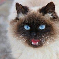Котёнок  непонятной породы :: Леонид Дудко