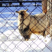 Старый  одинокий козёл . :: Мила Бовкун