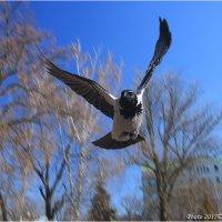 Летящая ворона :: Виктор Марченко