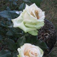 Белые розы :: Дмитрий Никитин