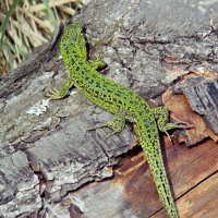 Ящерица зеленая.. :: Galina ✋ ✋✋