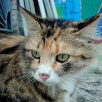 трехцветная кошка :: Александр Прокудин