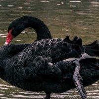 Черный лебедь :: Karolina