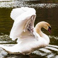 Белый лебедь2 :: Karolina