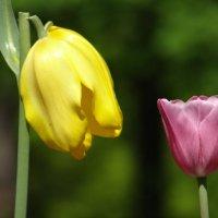 Тюльпаны 4(этюд) :: Алексей Цветков