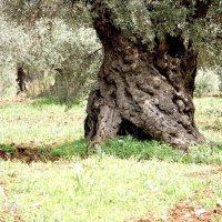 оливковое дерево :: evgeni vaizer