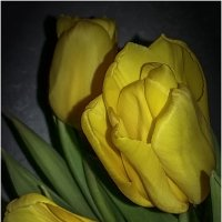 Желтые тюльпаны :: Вера