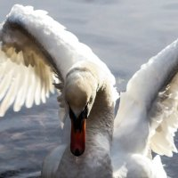 Лебедь ................... :: Александр Селезнев