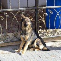 Уличный пёс :: Виктор Шандыбин
