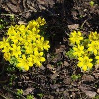 Жёлтые первоцветы :: Aнна Зарубина