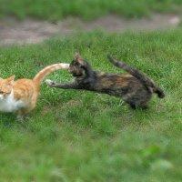 Погоня или кошачьи пятнашки... :: Михаил Болдырев