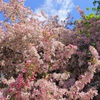 Яблоня в бело- розовых кудрявых цветах. :: Валентина ツ ღ✿ღ