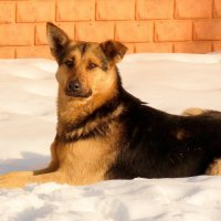 """пёс-""""морж"""" или на снежной перине :: Александр Прокудин"""