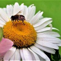Ромашка с пчелкой.. :: Клара