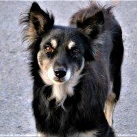 Собаки говорят глазами.. :: Клара