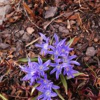 Синие первоцветы :: Aнна Зарубина