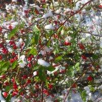 Ягоды в снегу. :: ВАЛЕНТИНА ИВАНОВА
