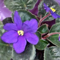 Весеннее цветение сенполии :: Нина Корешкова