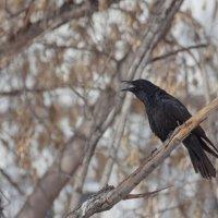 Весенняя песня ворона :: Анатолий Иргл