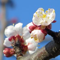 В Краснодаре цветут абрикосы :: Татьяна Смоляниченко