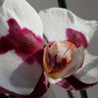 Орхидея :: Tatjana