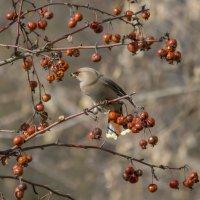 Вкусные яблоки :: Елена Шел(Швыдун)