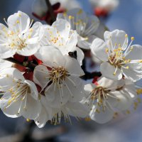 Антенны Абрикос настроил на Весну... :: Валерий Басыров