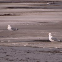 серебристые чайки :: Михаил Жуковский