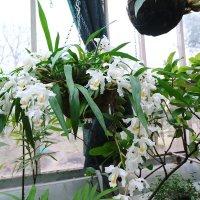 Орхидея :: Ольга Васильева