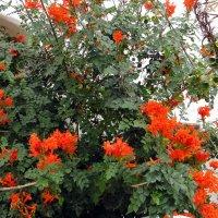 На территории отеля Jardin Tropical. Тюльпановое дерево :: Елена Павлова (Смолова)