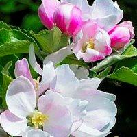 Яблоня в цвету.... :: Любовь К.