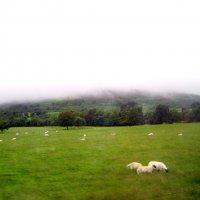 Шотландия. Белый туман и белые овцы :: Марина Домосилецкая