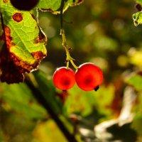 последние ягодки :: Волкова Наталия