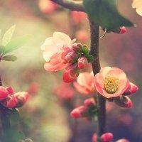 цветение :: Лилия .