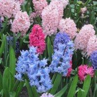Гиацинты весной :: Дмитрий Никитин