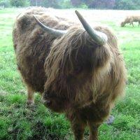 Шотландский мохнатенький бычок :: Марина Домосилецкая