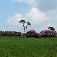 Цветут рододендроны.... :: Nataly Kar